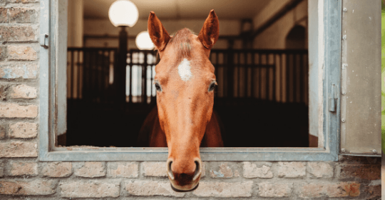 horse looking out stall