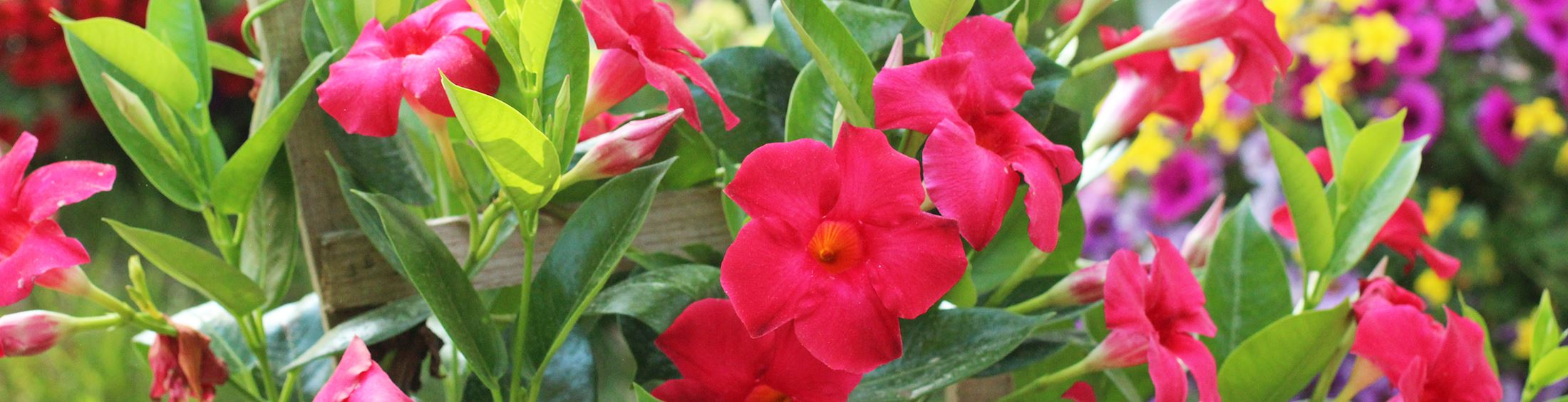 mandevilla from cardinals creek for sale at farmers market