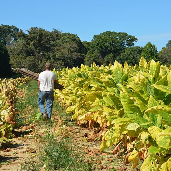 Sandy Point Rd Tobacco Farm